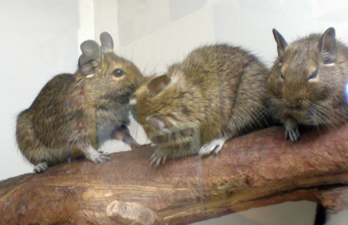Perched_degus